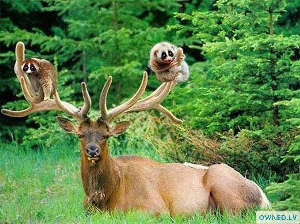 Friendship between deer and monkeys is excellent