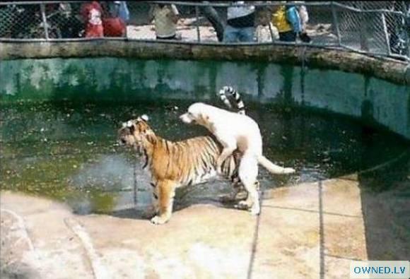 Dog loves tiger!