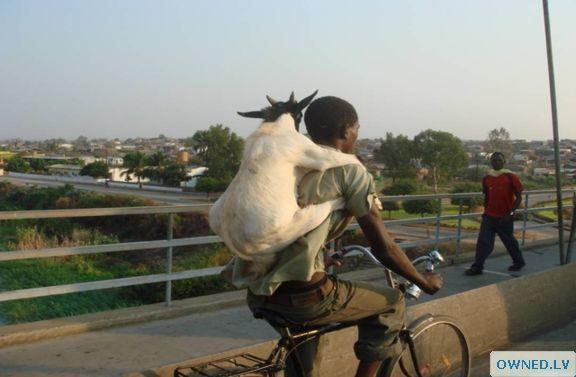 goat piggy back!