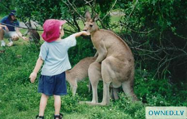 baby offer food while kangaroos havin sex