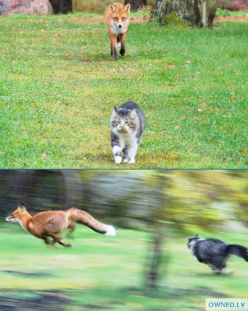 Cat chasing fox!