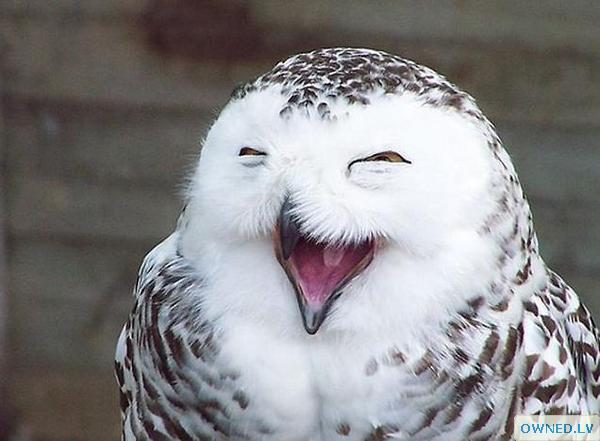 Smiling Owl