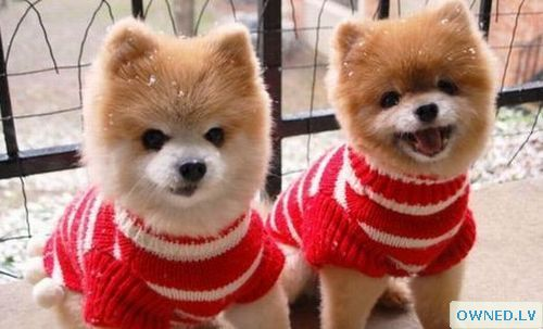 Sweater Puppies