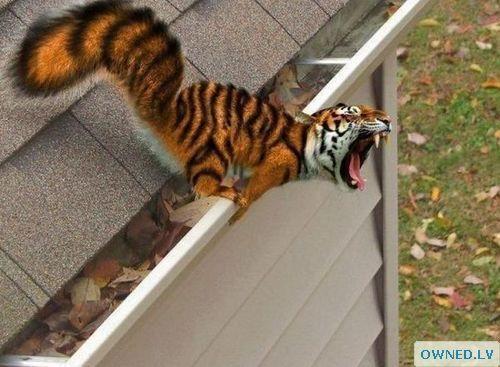 Tigerrel
