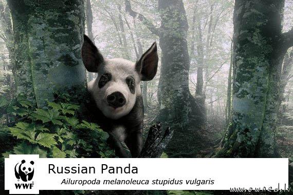 Russian panda