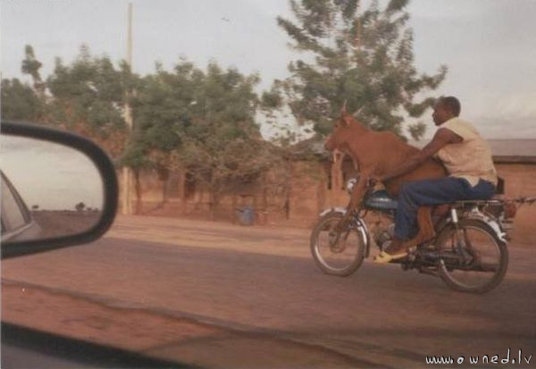 Cow on a motorcycle