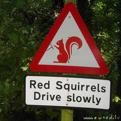 Red squirrels drive slowly