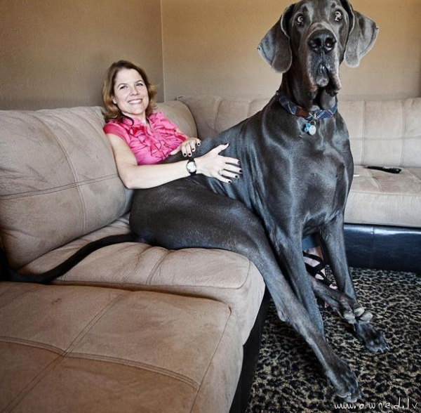Giant dog
