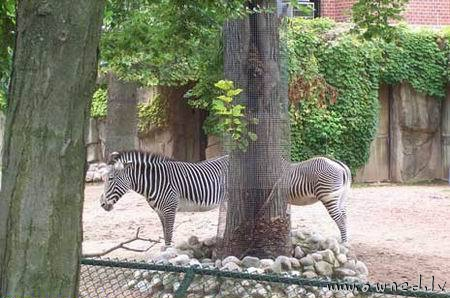 Long zebra