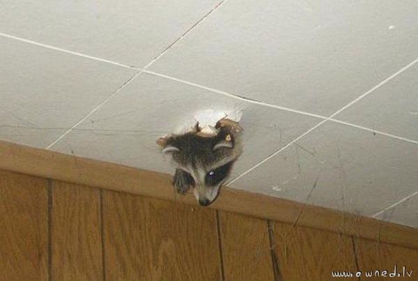 Ceiling raccoon